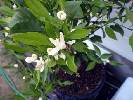 Honeybee20090424.jpg