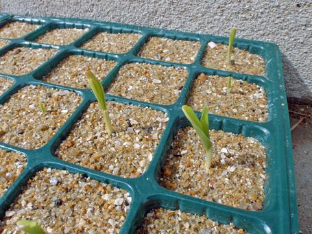 corn20090425.jpg