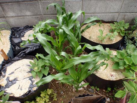 corn2009060601.jpg