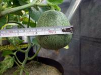 greenmelon2008080901.jpg