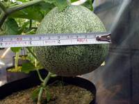 greenmelon2008081701.jpg