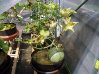 greenmelon2008082402.jpg