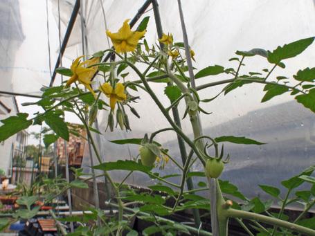 tomatobery20100520.jpg